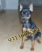 Gift a Min Pin pup in this DIWALI  season 9313005254