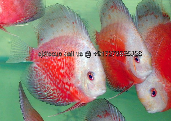 Discus supplier and breeder west bengal fish for sale for Live discus fish for sale