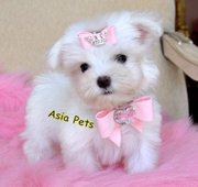 Maltese  Puppies  For Sale  ® 9911293906