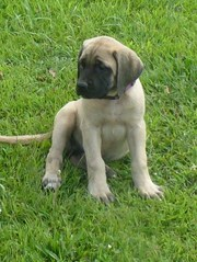 ENGLISH MASTIFF  PUPPIES FOR SALE  @ ANSHUKENNEL.....