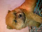 Chow chow puppies looking for  new humans to love