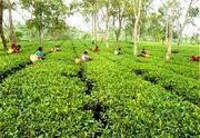 Tea Garden at North Bengal