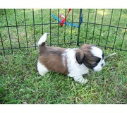 Lhasa Apso Puppies @ 7033834171/7890159755