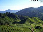 Beautiful Tea Garden Available for Sale in North Bengal