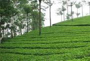Beautiful Tea Garden in Dooars for Sale at Cheap Price