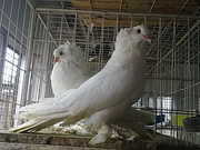 fancy pigeons and exotic birds for sale and purchese in kolkata,  west