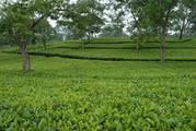 High Quality Tea Garden for Sale in North Bengal