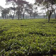 Tea Garden Industry - West Bengal