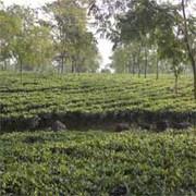 Tea Garden Sell in Darjeeling, North Bengal
