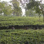 Tea Garden in Reasonable Cost
