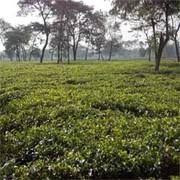 Tea Garden in Reasonable Cost